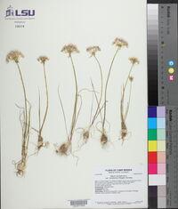 Allium canadense var. mobilense image