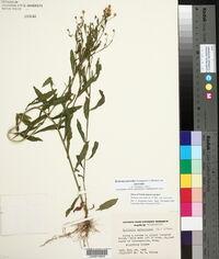 Boltonia asteroides image