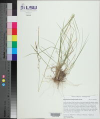 Piptochaetium pringlei image