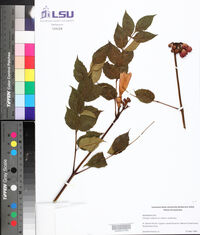 Campsis radicans image