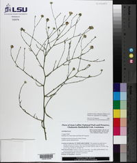 Symphyotrichum subulatum var. ligulatum image