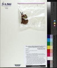 Punica granatum image
