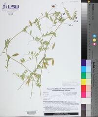 Vicia ludoviciana subsp. ludoviciana image