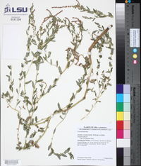 Atriplex cristata image