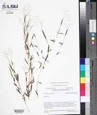 Image of Panicum schwackeanum