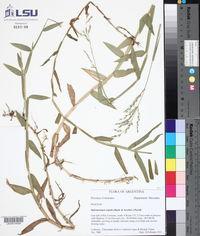Image of Oplismenopsis najada