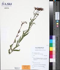 Canadanthus modestus image