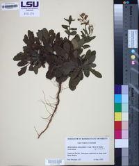 Heterotheca subaxillaris subsp. subaxillaris image