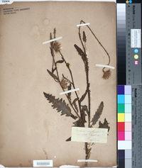 Image of Carduus defloratus