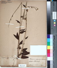 Hieracium sabaudum image