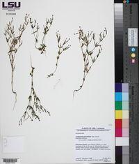 Centaurium pulchellum image