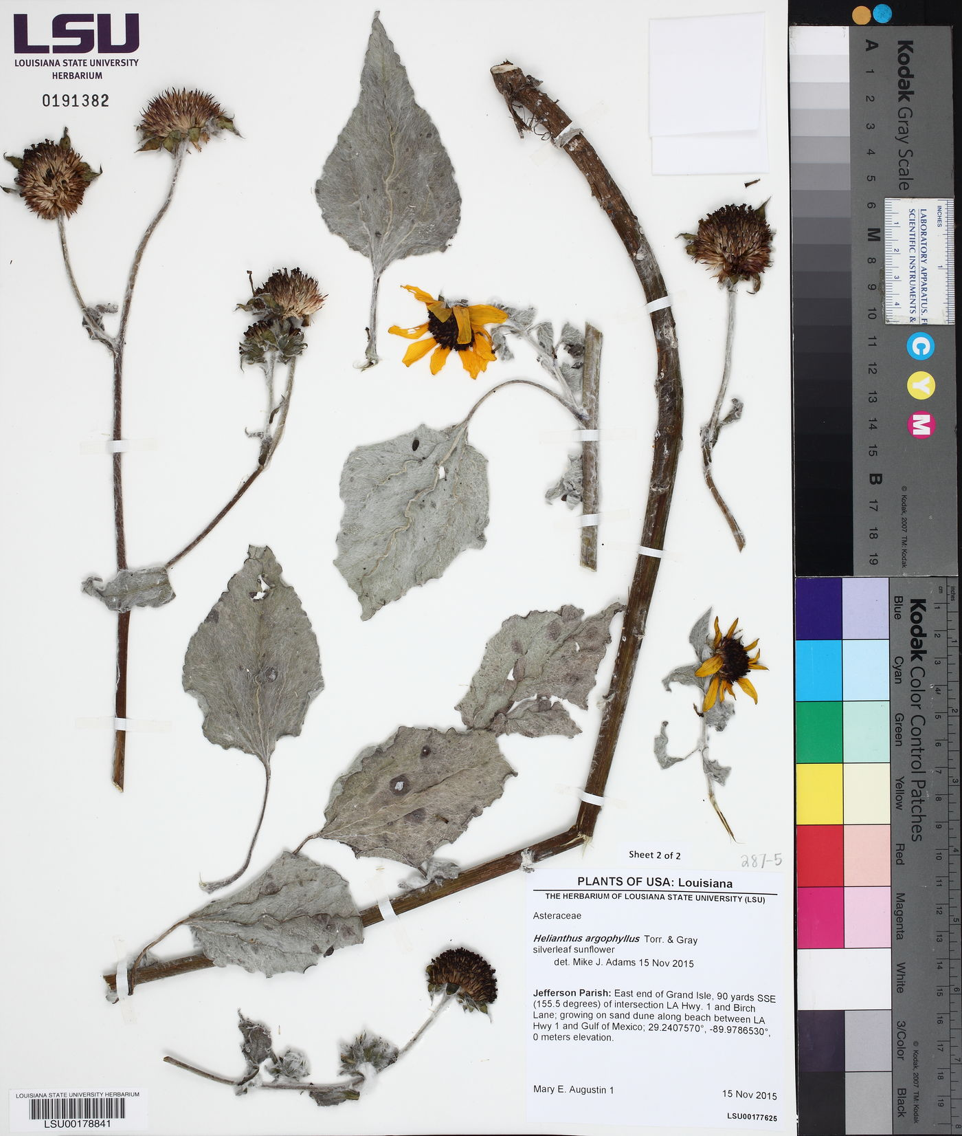 Helianthus argophyllus image