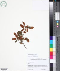 Image of Searsia divaricata