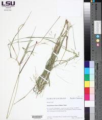 Steinchisma hians image