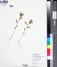 Acalypha monococca image