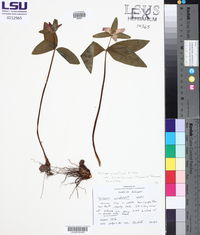 Trillium pusillum var. ozarkanum image