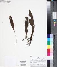 Image of Campyloneurum chrysopodum