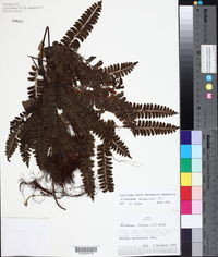 Image of Lindsaea divaricata