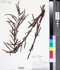 Pityrogramma trifoliata image