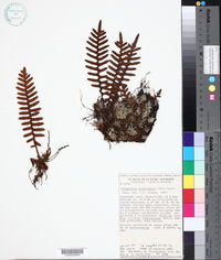 Pleopeltis pyrrholepis image
