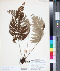 Image of Polystichum fournieri