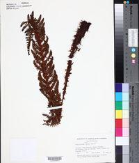 Image of Polystichum hartwegii