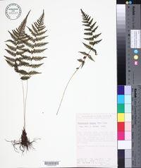 Thelypteris blanda image