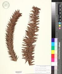 Araucaria angustifolia image