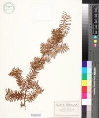 Taxus globosa image