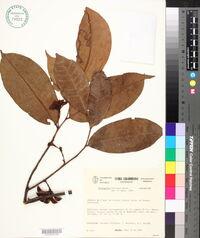 Image of Anaxagorea brevipes