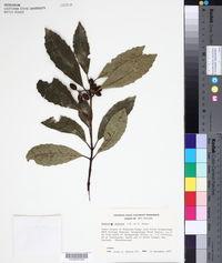 Hedycarya arborea image