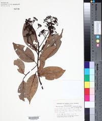 Image of Nectandra cufodontisii