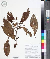 Image of Nectandra lineatifolia