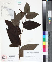 Saururus chinensis image