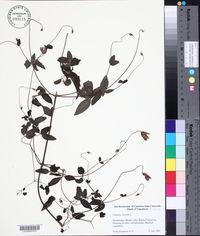 Clematis viticella image