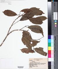 Image of Clarisia biflora
