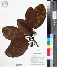Image of Coussapoa asperifolia