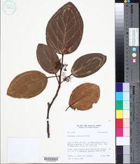 Image of Coussapoa latifolia