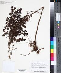 Image of Pilea diversifolia