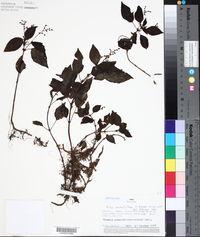 Image of Pilea minutiflora