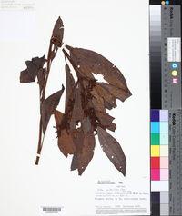 Image of Pilea multiflora