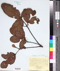 Image of Quercus costaricensis