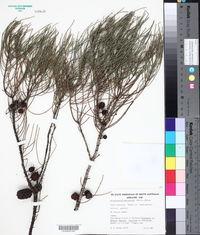 Image of Allocasuarina muelleriana