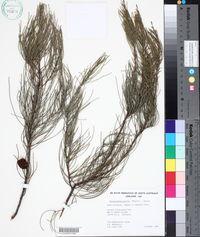 Image of Allocasuarina pusilla