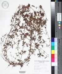 Image of Boerhavia dominii