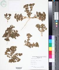 Image of Gunniopsis papillata
