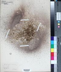 Moehringia muscosa image