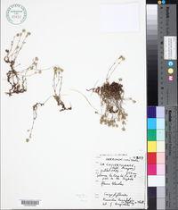 Image of Cherleria laricifolia