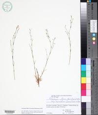 Image of Petrorhagia illyrica