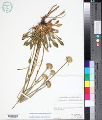 Image of Saponaria bellidifolia